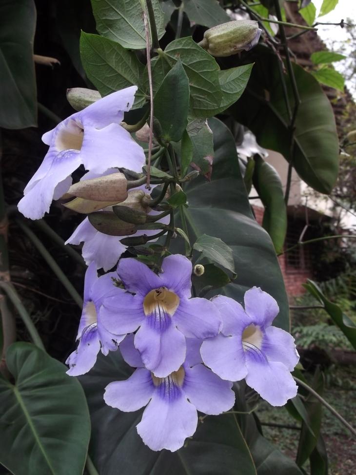 Flor Canna Indica