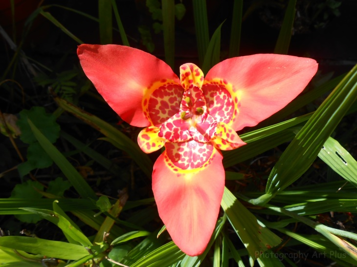 Flor tigridia pavonia