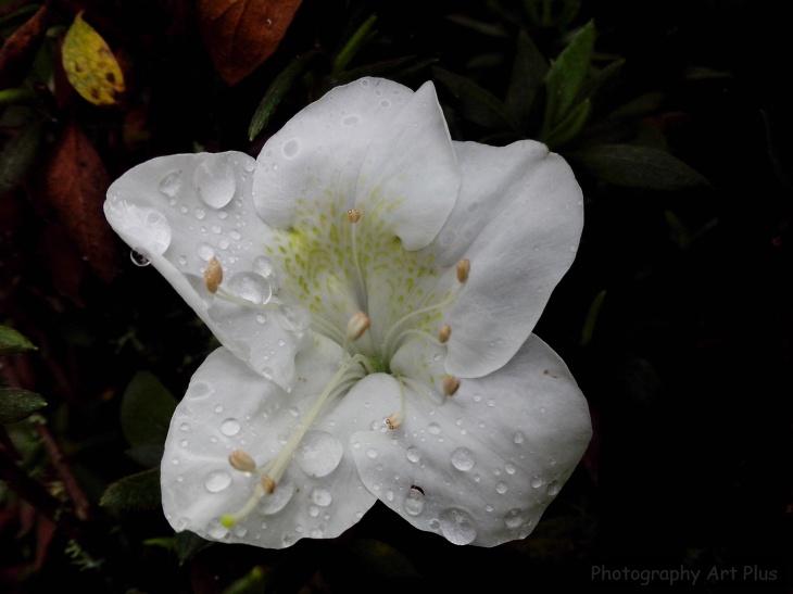 Flor biflora