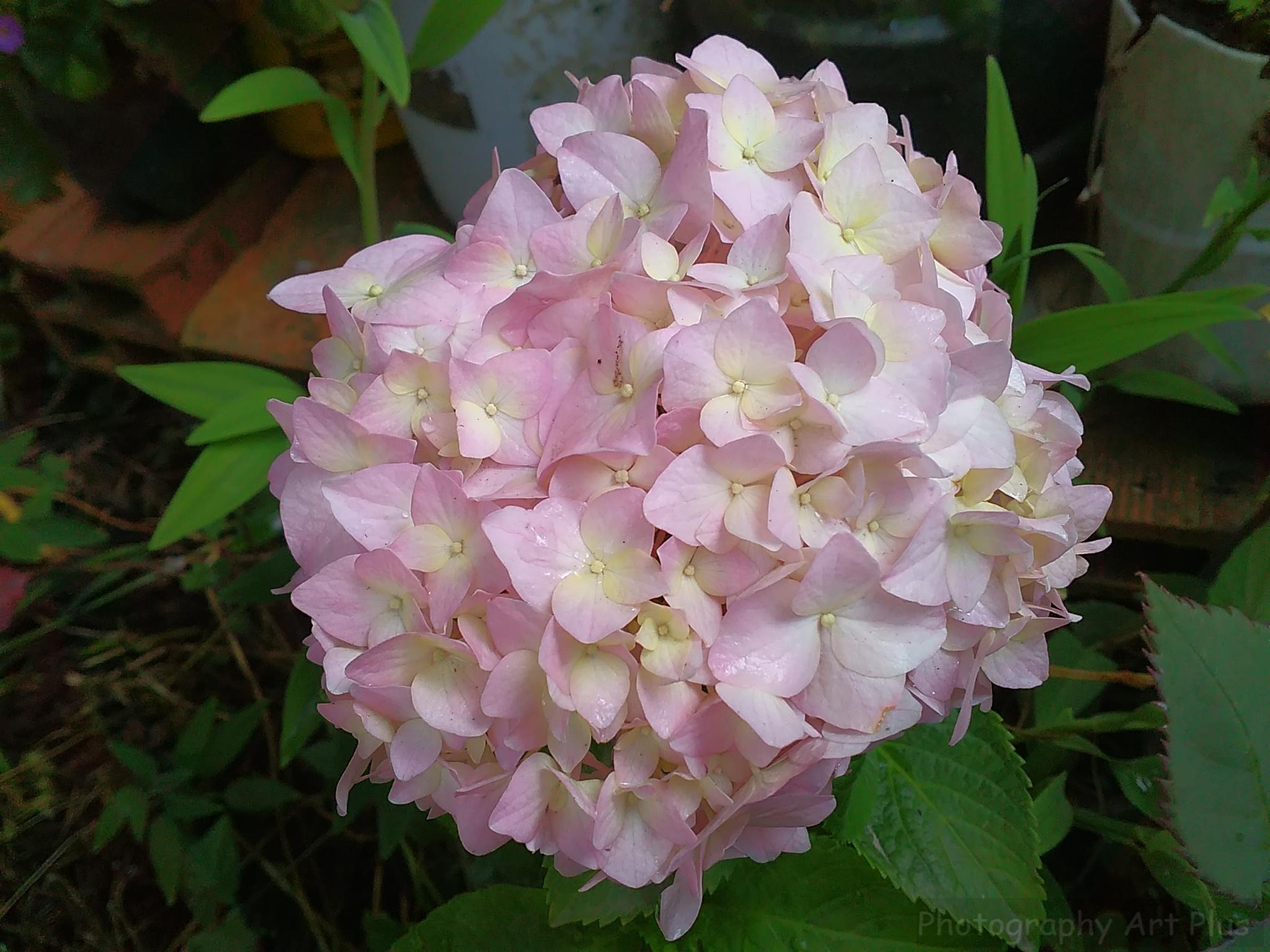 Flor hydrangea